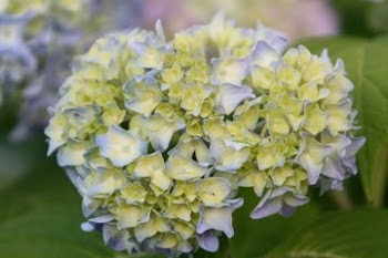 Endless Summer Hydrangea in Early Bloom