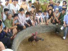 Vietnamese Cockfight