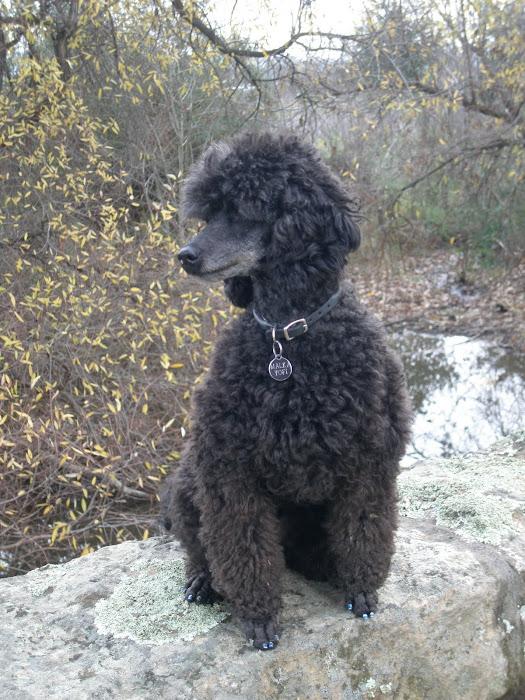 Yofi the Poodle
