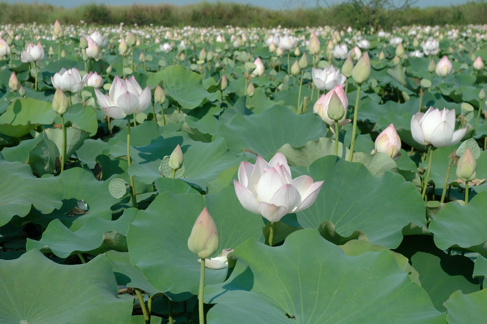 Navigating Through Life The Lotus Flower A Perfect Analogy Of The
