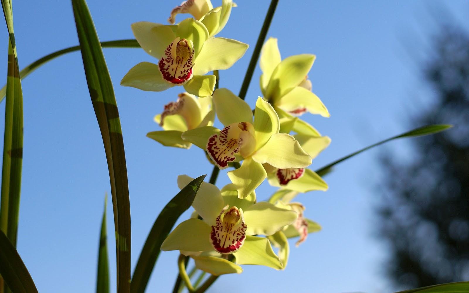 http://4.bp.blogspot.com/_rH30t_UIXBM/TUMWygmTYdI/AAAAAAAAAQ8/jFBI2Ei4SyE/s1600/cymbidium-orchid-sky-background-dsc03655.jpg