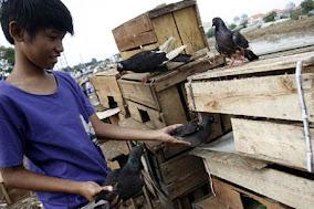 Lapak Sinta: Tips memilih Burung Dara