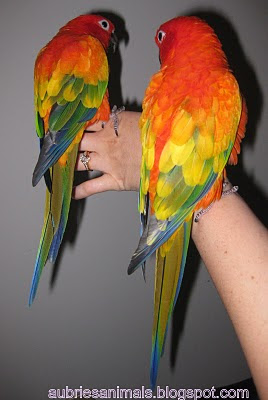 Aubrie s animals red factor sun conures sunkiss pyro and sanchez