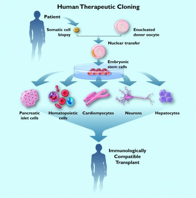 an analysis of the benefits of human cloning in medical research Stem cell research parish education program an educational program on stem cell research and therapeutic cloning is available from the office of the health care consultant for the archdiocese of dubuque, iowa.