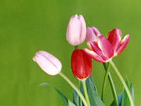 tulip flower pictures of tulips wallpaper tulip wallpaper
