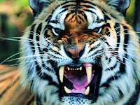 wallpaper tiger picture