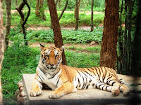 cool wallpapers tiger wallpaper