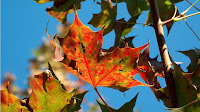 Thanksgiving Wallpaper 1366x768 Autumn Leaf