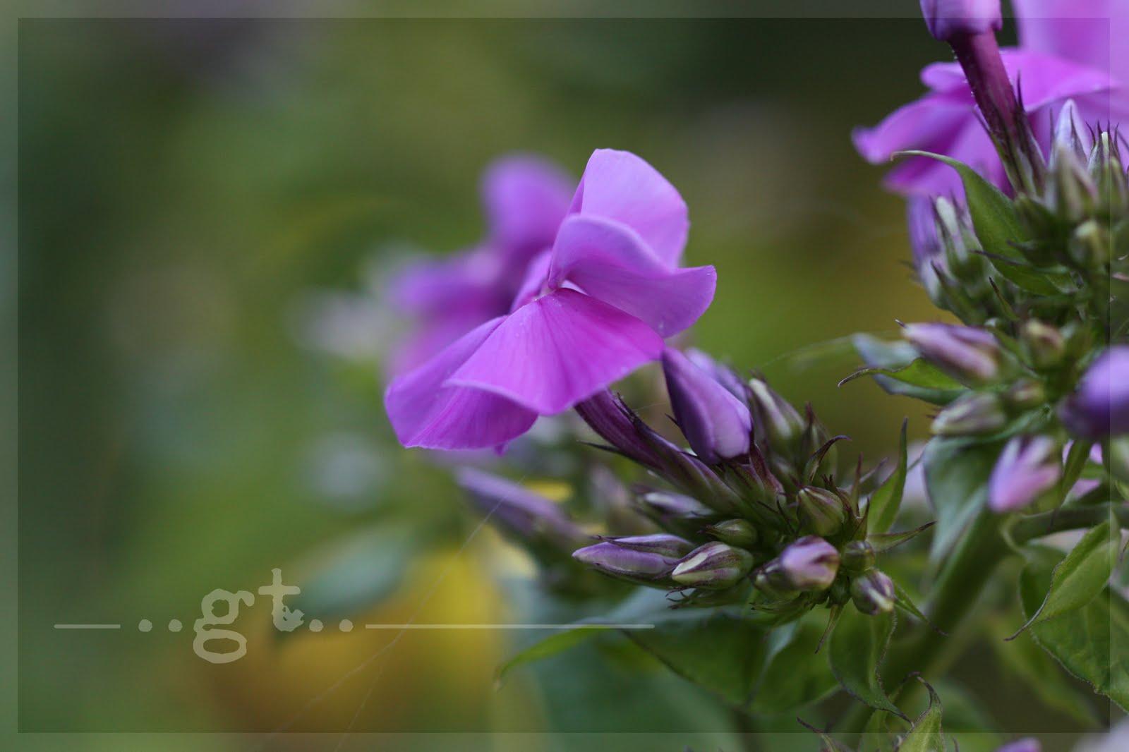 http://4.bp.blogspot.com/_rOlKu53E2Gw/TES5KYyw7wI/AAAAAAAAQfU/Hsn3RCGmHaA/s1600/IMG_6243..wm.phlox.jpg