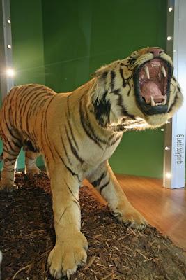Leeds Museum Bengal Tiger