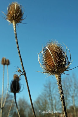 Teasel Yorkshire Farm
