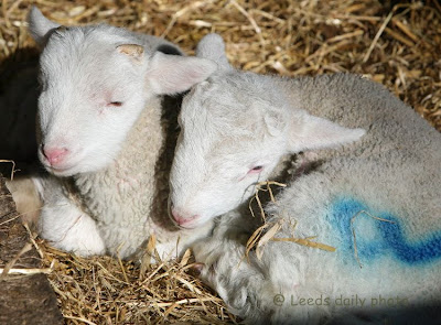 Lambs Meanwood Urban Farm Leeds