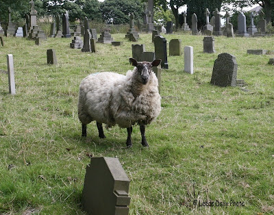 Sheep in churchyard Rawdon