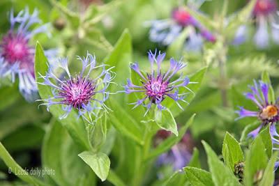 Wild Cornflower Yorkshire