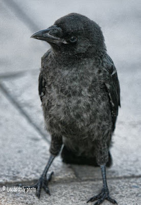 Young Crow