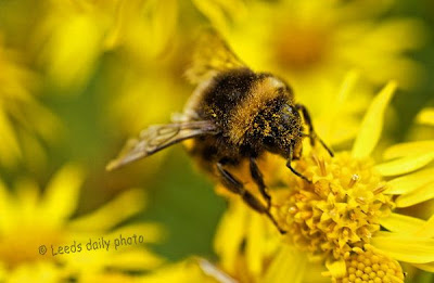 Bee on Ragwort