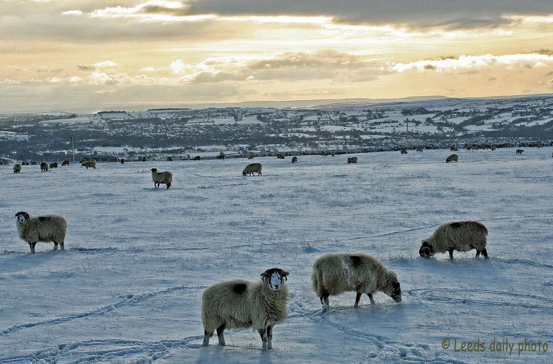 Sheep Otley Snow