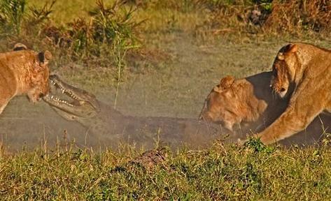 Leonas defienden a sus cachorros matando a un cocodrilo