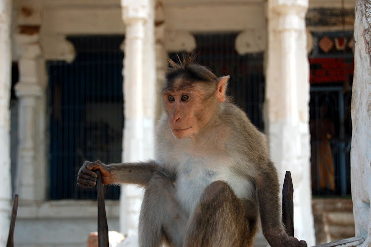 Monkeys and other animals like to rest in or near indian temples