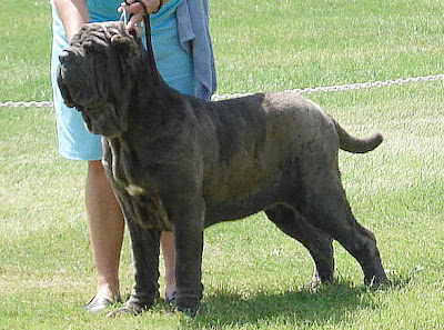 Largest Biggest Dog in the World Hercules