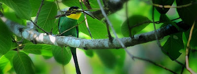 Birds in Corbett: Long tailed Broadbill
