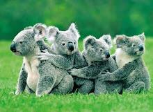 koalas(Austràlia)