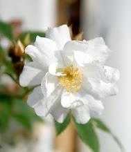 Polstjärnans vackra rosor...