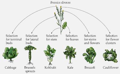 [Image: mustardgeneticvariation.png]