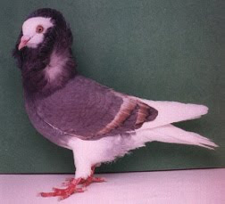 Old Dutch Capuchine Pigeon