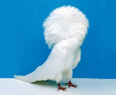 Jacobin Pigeon