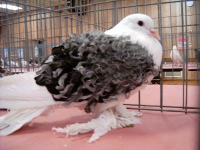Frill Back Pigeon