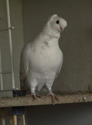 Old German Owl Pigeon