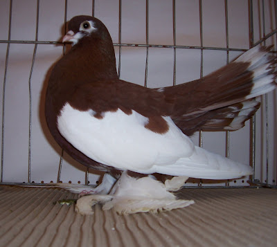 Syrian Fantail Pigeons