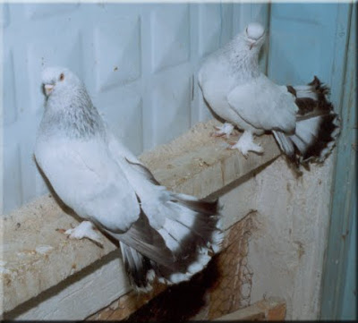 Seljuk Fantail Pigeon