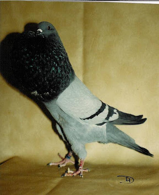 Silesian Pouter Pigeon