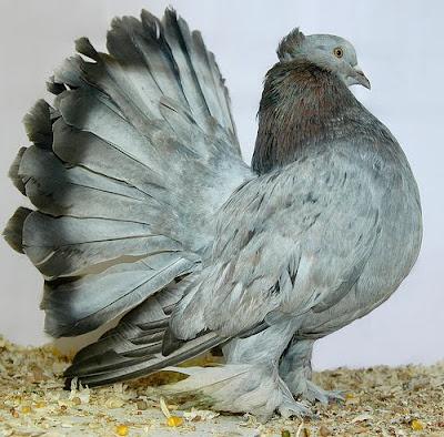 Black Fantail Pigeons