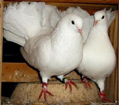 English Fantail Pigeon