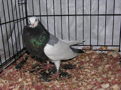 Bohemian Pouter Pigeon