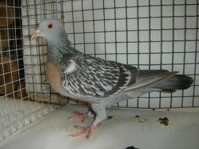 Coburg Lark Pigeon