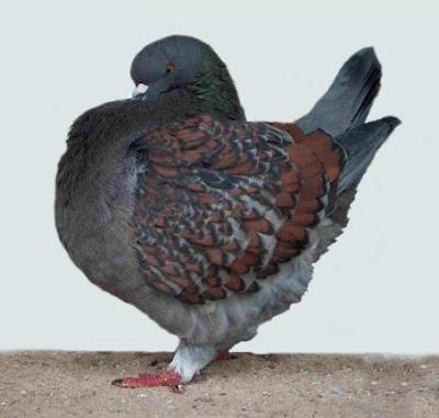Schietti Modena Pigeon