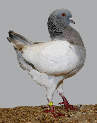 German Modena Pigeon