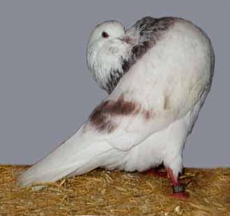 Groninger Slenke Pigeon