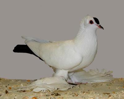 Saxon Spot Pigeon