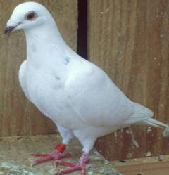 Grizzle Pigeon