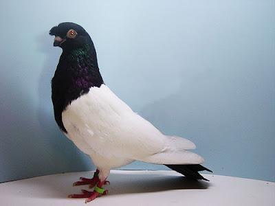 Chinese Nasal Tuft Pigeon