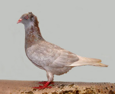 Pomeranian Show Crest Pigeon