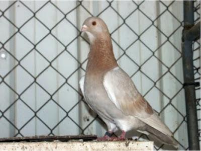 Pigmy Mariola Pigeon