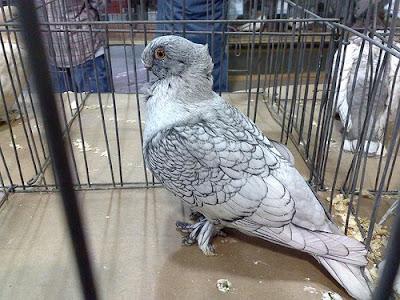 Oriental Turbit Pigeon