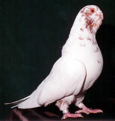Spanish Flamenco Runt Pigeon