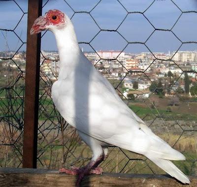 Syrian Bagdad Pigeon
